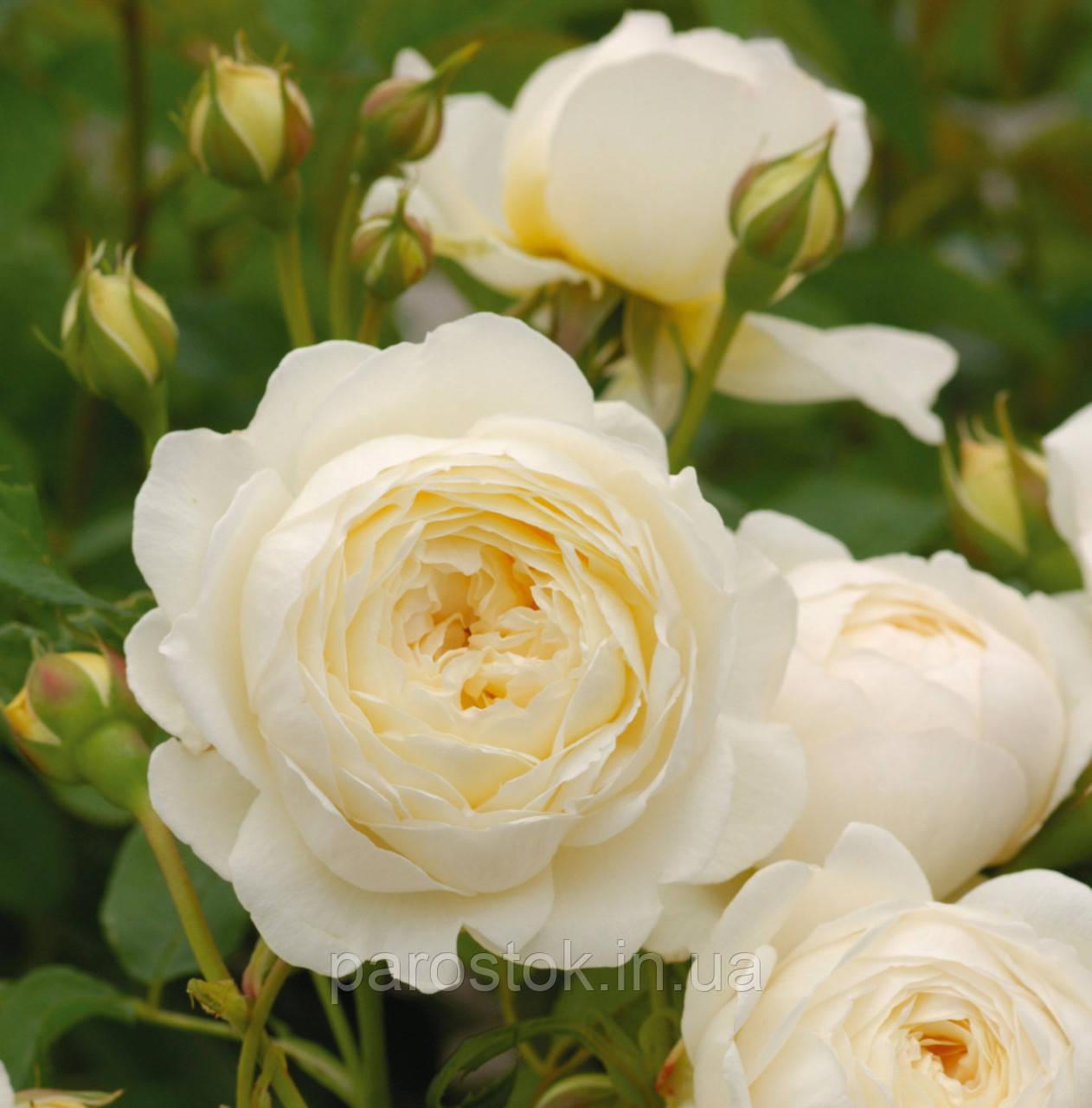 Роза Клер Остин. (ввв). Английская роза