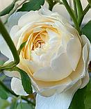 Роза Клер Остин. (ввв). Английская роза, фото 3