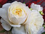Роза Клер Остин. (ввв). Английская роза, фото 5