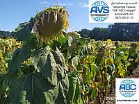 Подсолнечник Неймар под гранстар. Урожайность 45ц/га. Гибрид устойчив к семи расам заразихи A-G. Урожай 2020 года.