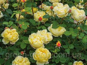 Роза Английская Charles Darwin, саженец