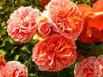 Роза Английская Chippendale, саженец