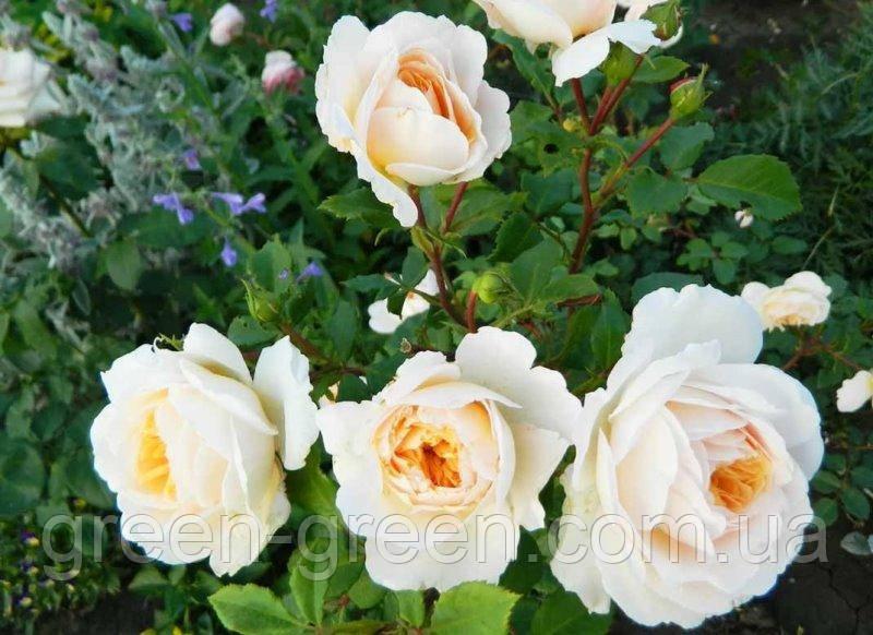 Роза Английская Claire Austin, саженец