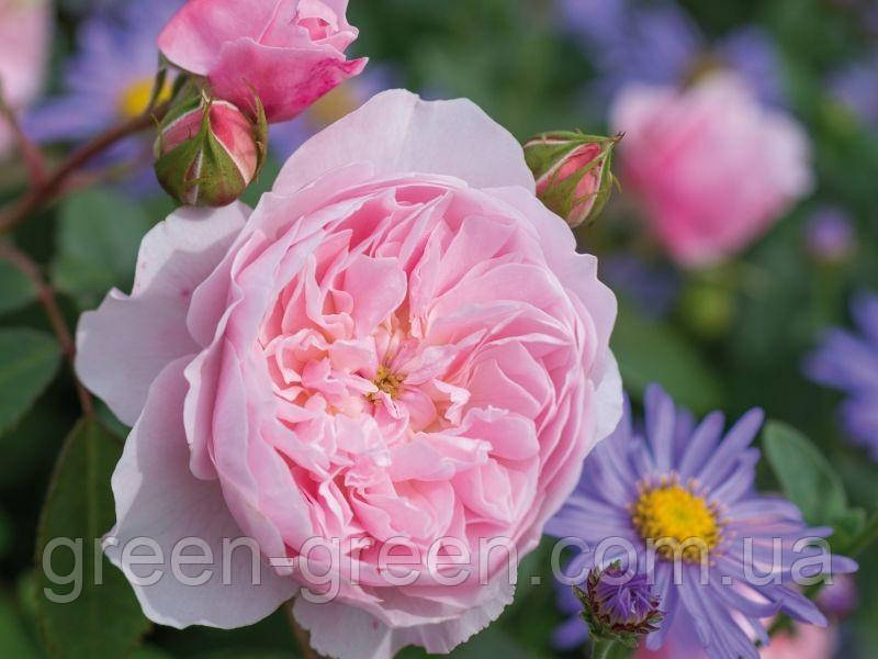 Троянда Англійська Excalibur