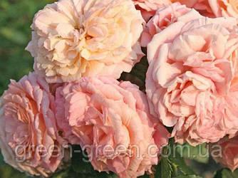 Роза плетистая Amaretto (Амаретто), саженец