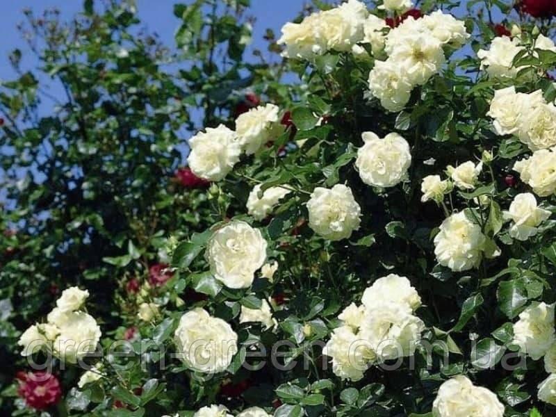 Роза плетистая Schneewalzer (Шнеевальцер) , саженец
