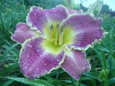 Лилейник Violet Etching