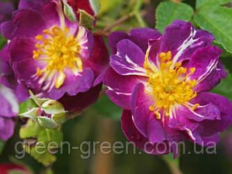 Роза плетистая Veilchenblau (Вайльхенблау), саженец