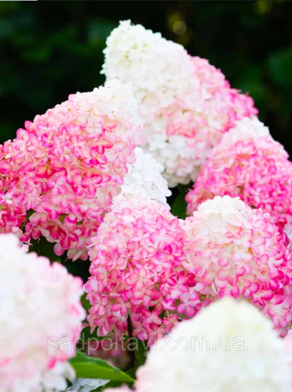 Саженцы гортензии метельчатой Пинк Розе / Living Pink Rose/