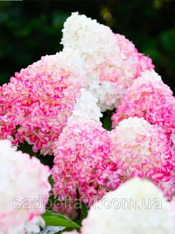Саженцы гортензии метельчатой Пинк Розе / Living Pink Rose/, фото 2