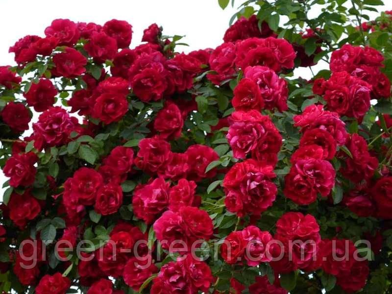 Роза в'юнка Color Beauty