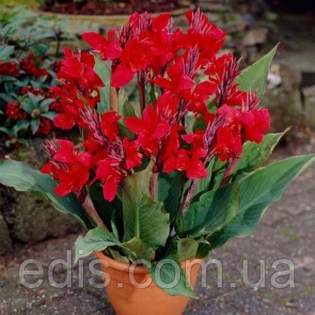 Канна низкорослая Cherry Red, фото 2