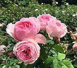 Роза Эскар Витзигман. (ввв). Шраб, фото 4
