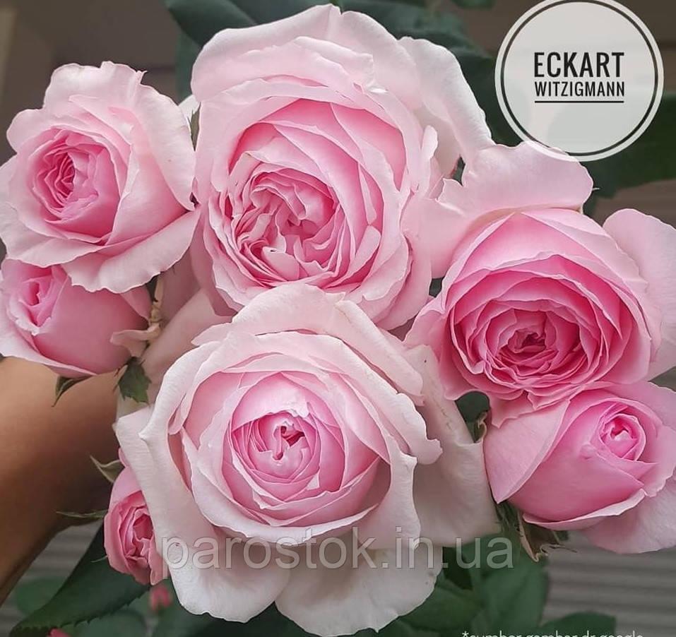 Роза Эскар Витзигман. (ввв). Шраб