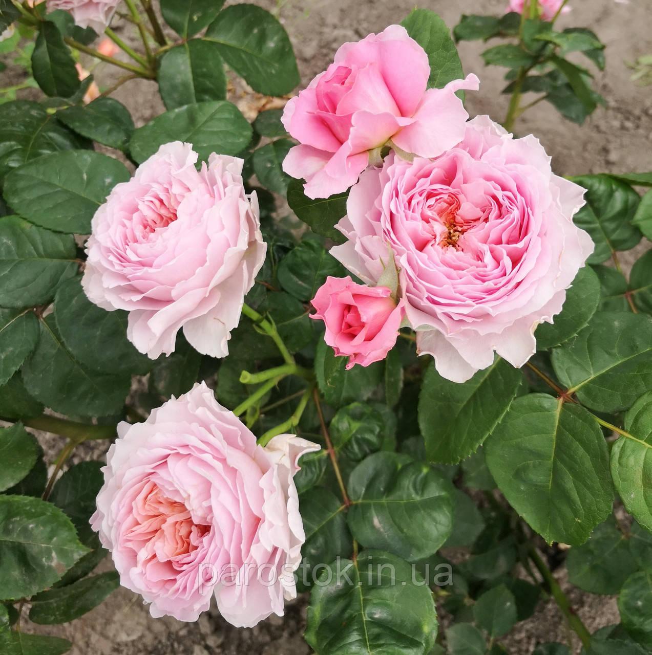 Роза Айсфогель. (вв). Чайно-гибридная роза