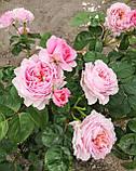 Роза Айсфогель. (вв). Чайно-гибридная роза, фото 3