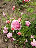 Роза Айсфогель. (вв). Чайно-гибридная роза, фото 5