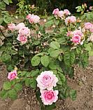 Роза Айсфогель. (вв). Чайно-гибридная роза, фото 4