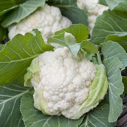 Уайт Эксел F1 (Вайт Ексель F1) семена капусты, 20 семян — цветная, раняя (65-70 дней), Sakata, фото 2