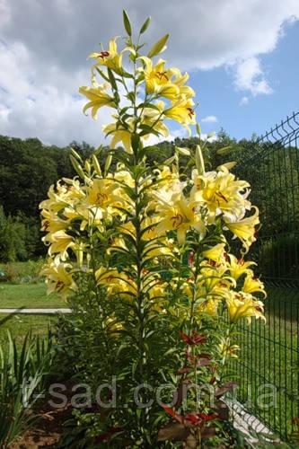 "Лилия Yellowin гигант- ""лилейное дерево"""