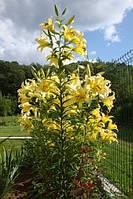 """Лилия Yellowin гигант- """"лилейное дерево"""", фото 1"""