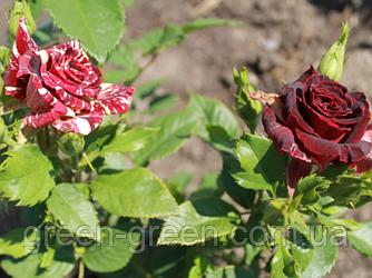 Роза бордюрная Abra Sprey. саженец