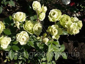 Роза бордюрная Limba (Лимба), саженец