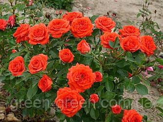 Роза Orange Baby (Оранж Беби), саженец