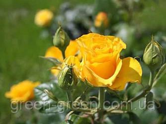 Роза бордюрная Sphinx (Сфинкс), саженец