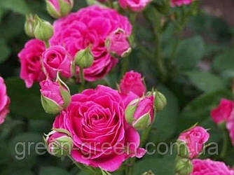 Роза бордюрная Carat (Карат), саженец