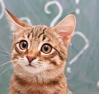 Клещ у кота: виды и лечения