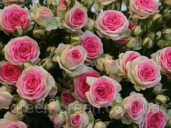 Роза бордюрная Mini Eden (Мини Эден), саженец