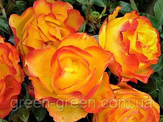 Роза бордюрная Sunrise (Санрайз), саженец