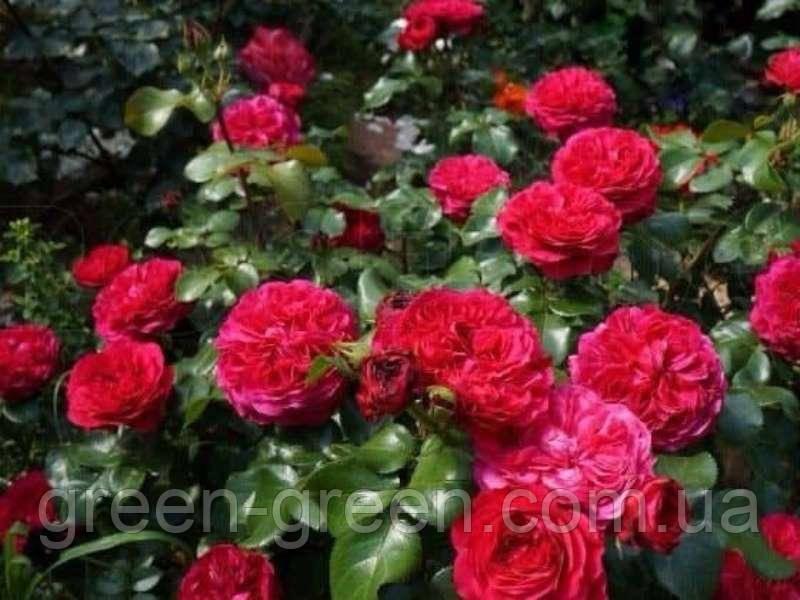 Роза бордюрная Леонардо Да Винчи, саженец