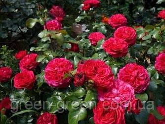 Роза бордюрная  Leonardo da Vinchi (Леонардо Да Винчи), саженец