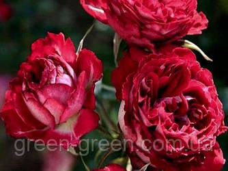 Роза бордюрная Garnet Bracelet (Гранатовый браслет), саженец