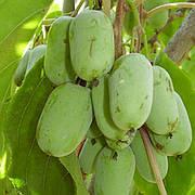 Саженец актинидии аргута ОРИГИНАЛЬНАЯ (Оryhinalna) - зеленый, морозостойкий, 2-летний