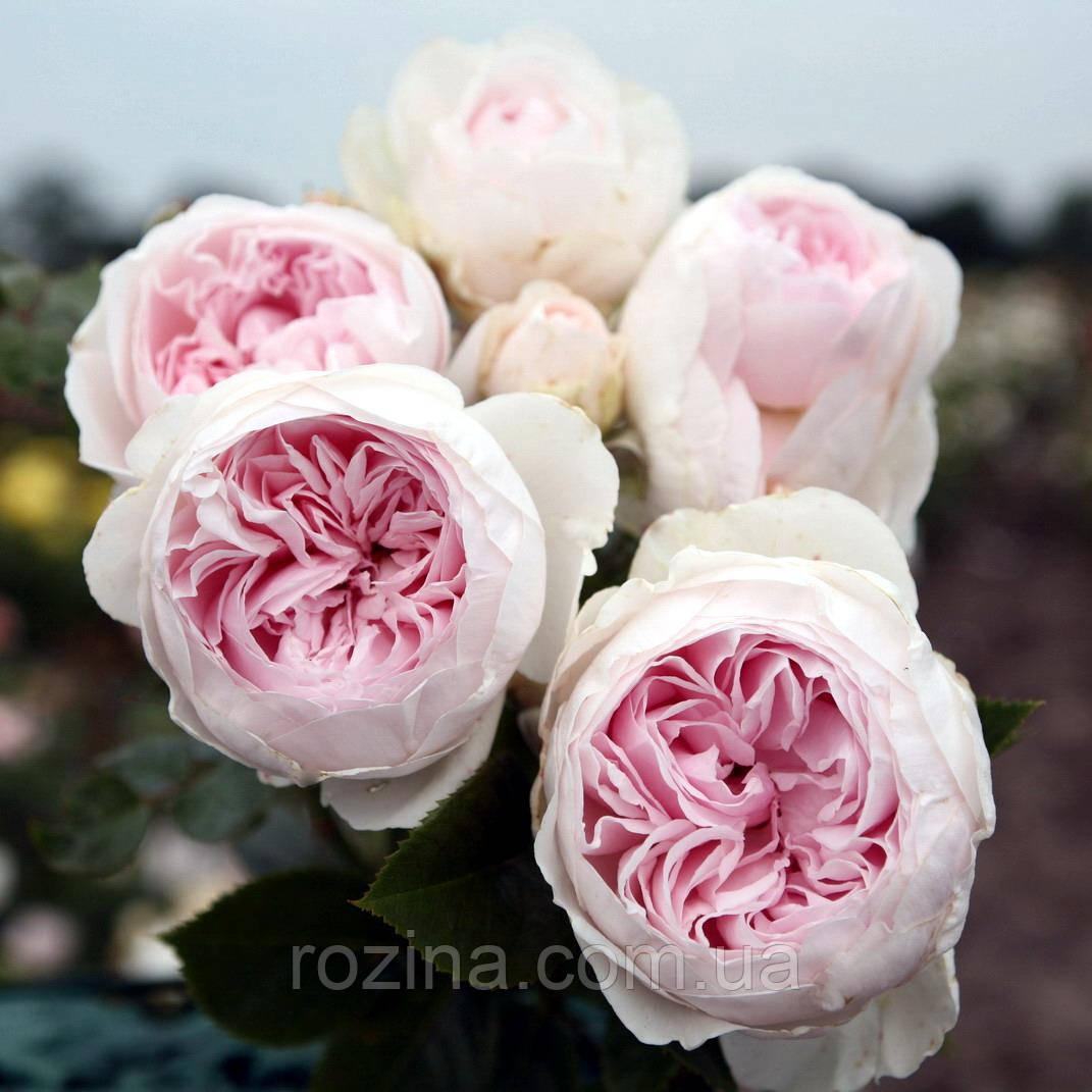 """Саджанці троянди """"Герцогиня Кристиана"""""""