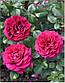 """Саджанці троянди """"Белевью"""", фото 2"""