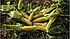 ЖИ 3278 ОИ F1 кукурудза цукрова 1000 нас., Snowy River, фото 3