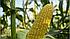 Джет F1 кукурудза цукрова 1000 нас., Snowy River, фото 2