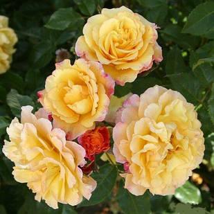 Саженцы парковой розы Ругельда (Rugelda)
