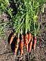 Нью Курода F1 морква (1.6-1.8 мм) 500 г Asia Seed, фото 3