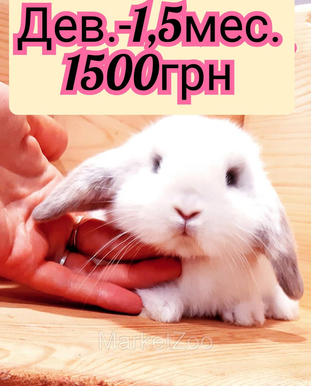 """Карликовый вислоухий кролик,порода """"Вислоухий баранчик"""",окрас """"Белый с серой окантовкой"""",возраст 1,5мес.,дев."""