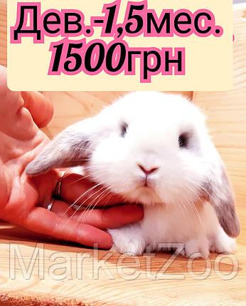 """Карликовый вислоухий кролик,порода """"Вислоухий баранчик"""",окрас """"Белый с серой окантовкой"""",возраст 1,5мес.,дев., фото 2"""