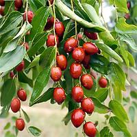 Саженцы Зизифуса Конфетный (сеянец) - ранний, крупноплодный, урожайный (унаби, финика, жужуба)