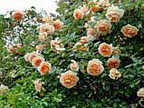 Роза Жоселин Салавер. (вв). Современный шраб, фото 2