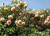 Роза Жоселин Салавер. (вв). Современный шраб, фото 3