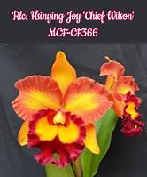 """Уценка! Орхидея. Каттлея Hsinying joy chief wilson, размер 2.5"""" без цветов, фото 1"""