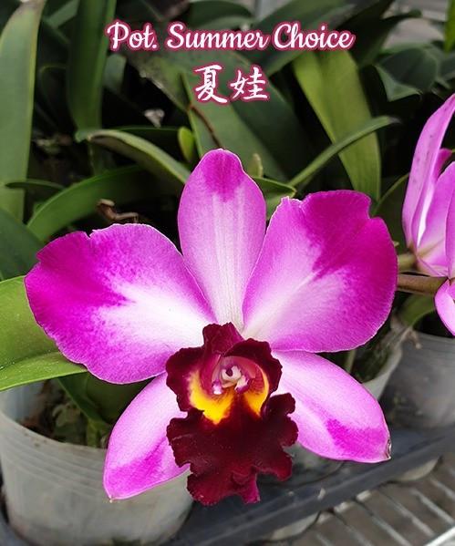"Уценка, см фото Орхидея. Каттлея Summer choice', размер 2.5"" без цветов"